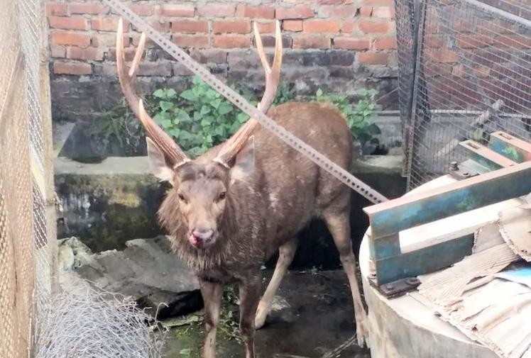 reindeer entered in the house premises at paonta sahib sirmour